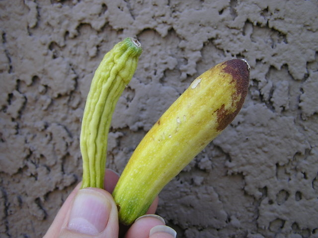 Courtesy Bob Morris Some varieties of zucchini plants do not perform will in our climate.