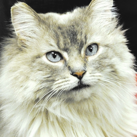 Lilly, Happy Home Animal Sanctuary Lilly is a 6-year-old medium-haired silver and grey Himalayan mix who has been waiting seven months for a forever home. A real beauty queen, she was abandoned. S ...