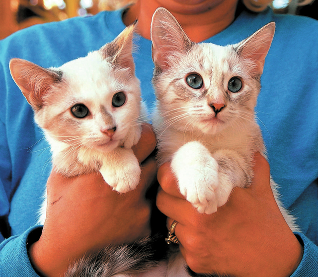 Lydia & Allison, Nevada SPCA We are baby sisters with a magical bond, and we want to stay together forever. We are lynx point Siamese mix kittens, spayed, about 3 months of age. We have been lovin ...