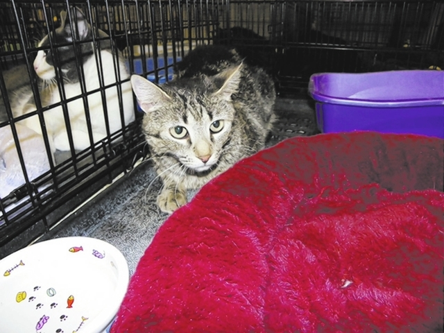 Abby, Paws 4 love Abby is a 6-year-old female tabby. This lovely lady has been living outdoors and having too many litters of kittens. She came to us unable to eat due to her teeth and a lump unde ...