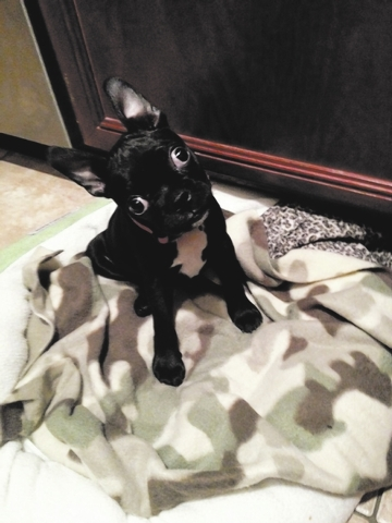 """Hi, my name is Maximilian! I'm a Bugg, with a Boston terrier father and a pug mother! I'm 12 weeks old, 4½ lbs. Born in Oregon, my home is Las Vegas with my human mother Sharon Augustine.  ..."