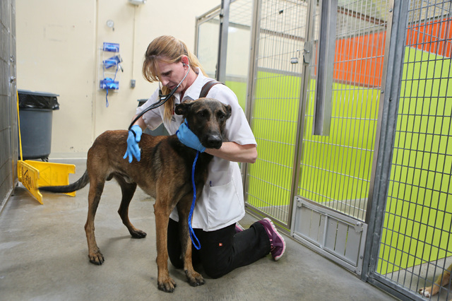 Veterinarian Wendy Howard examines a male shepherd mix in one of the shelter's 72-hour holding areas at Lied Animal Shelter operated by The Animal Foundation, located at 655 N. Mojave Road Tuesday ...