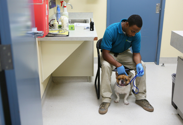 Jarvis Patterson pets a female French bulldog waiting for her microchip to be scanned before being returned to her owner in the clinic at Lied Animal Shelter operated by The Animal Foundation, loc ...