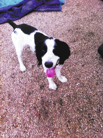 Chewbacca, English Springer Rescue America My name is Chewbacca, and I am an English springer spaniel. I am 5 years old, and my favorite game is playing fetch. I love to chase birds, but I walk ve ...