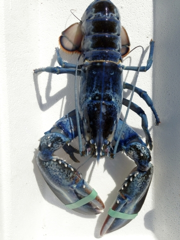 This Aug. 23, 2014, photo provided by Meghan LaPlante shows a blue lobster caught by her father, Jay LaPlante, off Pine Point in Scarborough, Maine, Saturday. The crustacean is being donated to th ...