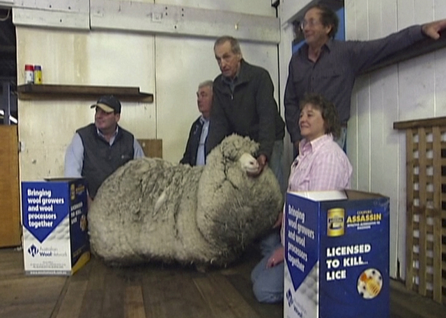 This image made from video, shows Shaun the shaggy Australian sheep with farmers before being shorn in Midlands, Australia, Thursday, Aug. 28, 2014. Shaun received his first haircut for the first  ...