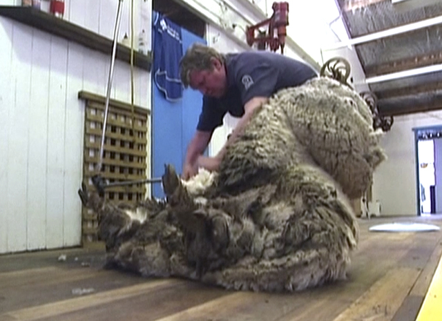In this image made from video, Shaun the shaggy Australian sheep is shorn in Midlands, Australia, Thursday, Aug. 28, 2014. Shaun received his haircut for the first time in years Thursday, losing 5 ...