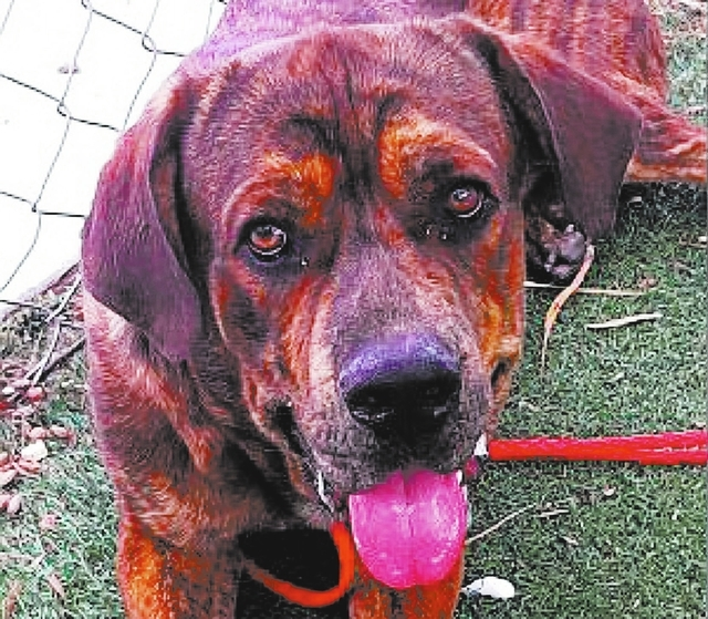Pluto, The Animal Foundation My name is Pluto (I.D. No. A790767), but people say I'm more goofy than anything else! I'm a 1-year-old male mastiff, and I like slow morning walks, your devoted a ...