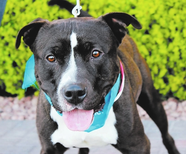 Domino, Animal Network Domino is a 3-year-old guy who spent months in a shelter. This guy is a big hunk of love. He is social, friendly, easygoing and a handsome guy to top it off. He likes other  ...