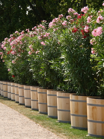 Thinkstock Most dwarf oleander bloom fine in containers.