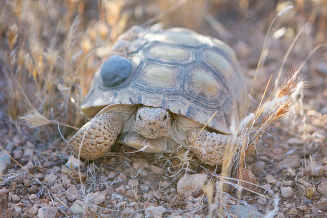 The desert tortoise on the federal protected species list. (AP Photo file)