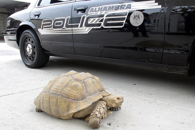 This Aug. 2, 2014 photo provided by the Alhambra Police Department shows a giant 150-pound tortoise who was found wandering the streets of Alhambra, Calif. The tortoise was lifted into a patrol ca ...