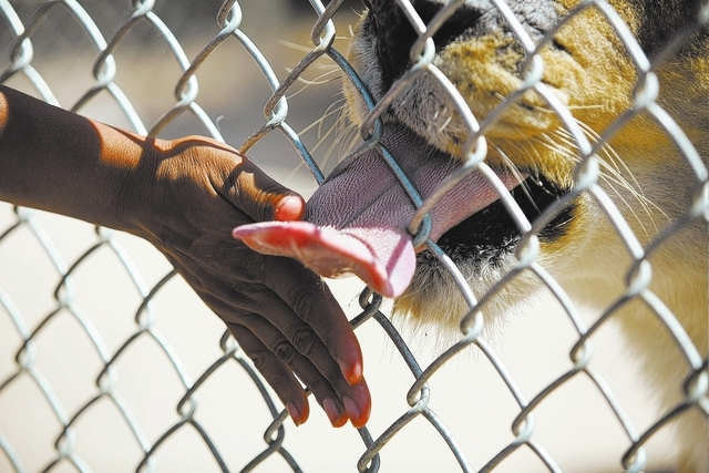 Lion handler Cristina Cuellar has her hand licked by lion M.G. at the Lion Habitat Ranch at 382 Bruner Ave. Friday, Aug. 1, 2014 in Henderson. M.G. is one of 50 lions currently housed at the ranch ...