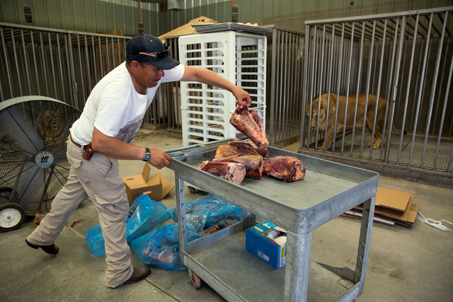 Alberto Velazquez unpacks horse shank bones for lions at the Lion Habitat Ranch, located at 382 Bruner Ave., Friday, Aug. 1, 2014. (Samantha Clemens-Kerbs/View)