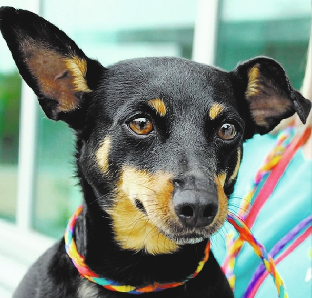 Kara, The Animal Foundation I'm Kara (I.D. No. A792847), a 3-year-old female miniature pinscher. I want to meet you if you have a good home and a big heart waiting for me! I love to take fast wa ...