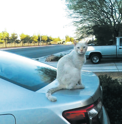 "Joscylyn Huffmaster of Las Vegas said, ""This is the beautiful flame point Siamese that owns us posing as a cat car alarm in east Las Vegas near Nellis Air Force Base."""