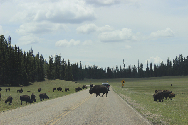 Bison roam along the main road of the North Rim. (DEBORAH WALL/SPECIAL TO VIEW)