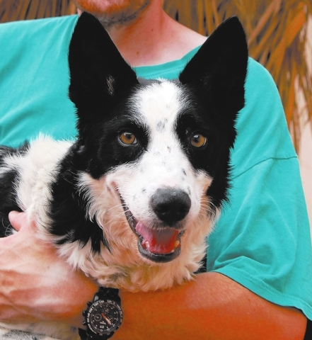 Jack, Nevada SPCA Adopt me, and you will be blessed with more unconditional devotion than you can imagine. My name is Jack Flash, and I am a brilliant, fun-loving young border collie, 3 years of a ...