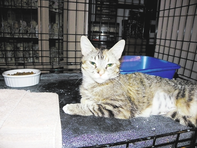 Elsa, Paws 4 Love Elsa is a 1-year-old female tabby. This lovely lady was found in an alley dumpster diving for food. This girl would do well in a home where she is the only pet. Do you have big h ...
