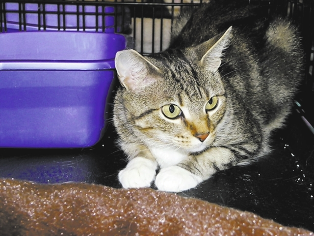 Pearl, Paws 4 Love Pearl is a 2-year-old female tabby, found with her kittens under a building. Pearl is a beauty with her white socks, and she likes to visit with you. She does well with other ca ...