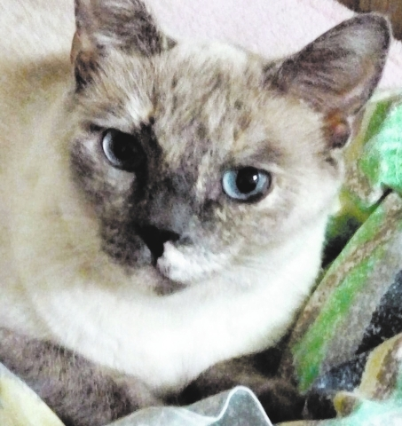 Miss Sannie, PURR I am a 3-year-old Siamese mix. I am soft as silk and sweet as pie. I love attention and conversation. If you can find it in your heart to make me part of your family, I promise t ...