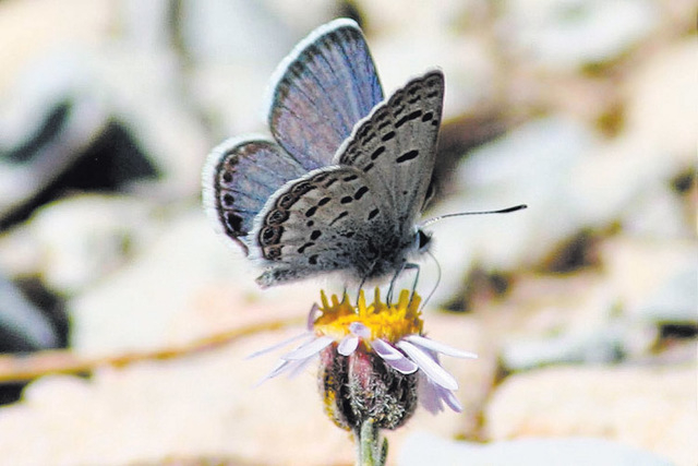 Mount Charleston blue butterfly, Plebejus shasta (Courtesy/Corey Kallstrom, U.S. Fish and Wildlife Service)