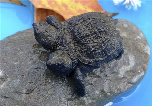 It this photo made Thursday, Sept. 25, 2014, a two-headed snapping turtle sits on a rock in Hudson, Maine. Kathleen Talbot, of Hudson, found the baby reptile earlier in the week while she was watc ...
