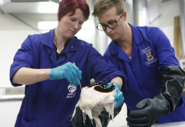 Scientist Kat Bolstad, left, from the Auckland University of Technology, and student Aaron Boyd Evans examine a beak of a colossal squid at a national museum facility Tuesday, Sept. 16, 2014, in W ...