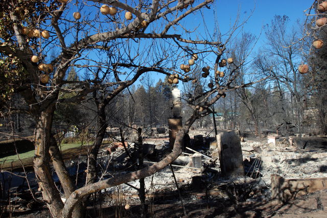 Apples hang on a tree, Tuesday, Sept. 16, 2014, next to a home destroyed by a wind-driven wildfire in Weed, California. An estimated 100 structures were burned in the blaze. (AP Photo/Jeff Barnard)