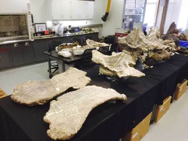 Bones of Dreadnoughtus schrani are seen in Professor Kenneth Lacovara's fossil lab at Drexel University in Philadelphia, Pennsylvania, in this undated photo released on Wednesday, Sept. 3, 2014. S ...