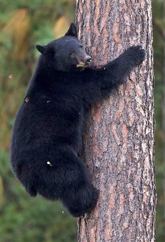 A young black bear climbs down from a tree near Woodland Middle School in Coeur d'Alene, Idaho, Wednesday, Sept. 24, 2014. Idaho Fish and Game officials tranquilized the black bear after it climbe ...