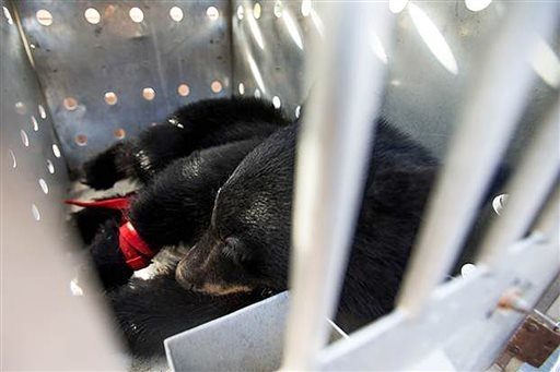 A young black bear was captured by Idaho Fish and Game Wednesday, Sept. 24, 2014, after spending several hours in a tree near Woodland Middle School in Coeur d'Alene, Idaho. Fish and game official ...