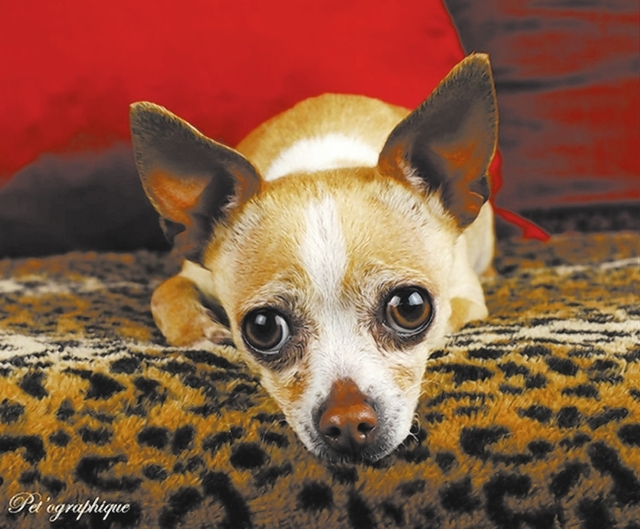 Zoe, Southern Nevada Beagle Rescue Zoe is an approximately 4-year-old female Chihuahua. She came out of a high-kill shelter. She quickly adjusts. She is active and playful. She is spayed, microchi ...