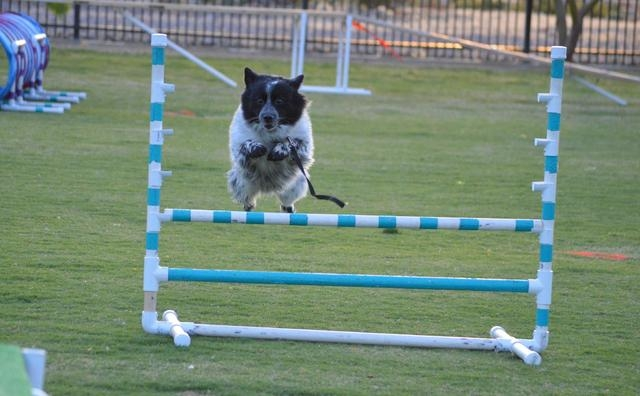 Oreo jumps over a hurdle in an agility course hosted by Michael's Angel Paws. The organization plans one-hour dog agility classes at 10:30 a.m. Saturdays from Sept. 13 to Oct. 18 at the Valley Vie ...