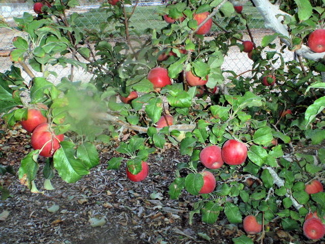 Mid-November is the best time to pick fruit from the Pink Lady apple tree.  (Courtesy, Bob Morris)