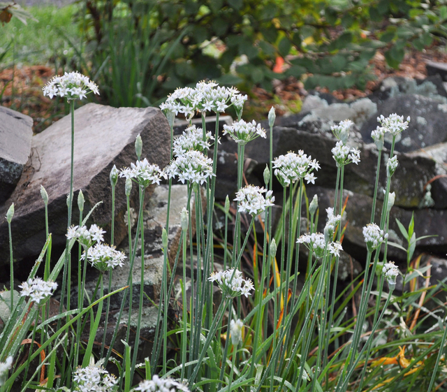 Garlic chives are ornamental, tasty, and -- when grown at an appropriate location -- do not threaten to become weedy. (Lee Reich/Associated Press)