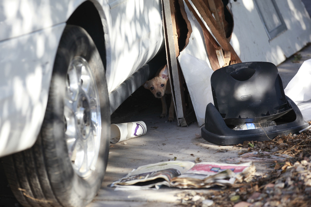 A small dog looks out from beneath a car on Monday, Sept. 29, 2014, in the front yard of a home where 41 dogs died as the result of a fire Sunday night in the 2600 block of Stanley Avenue, near Ea ...