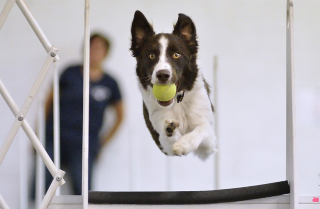 Jack jumps a hurdle during a training session for the Sincity Dogs Flyball Team at the team's base at 4221 W. Charleston Blvd., July 30. Dogs participating in flyball race through a series of hurd ...