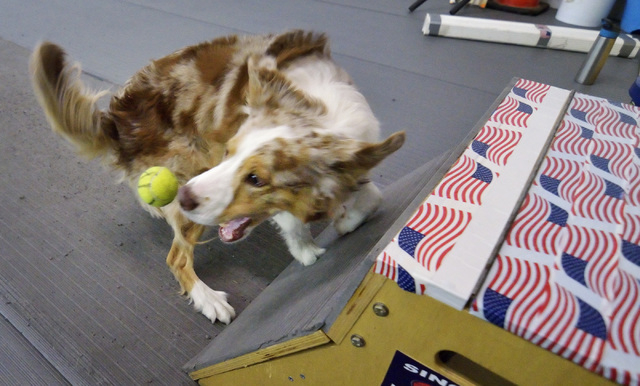 Reina moves to catch a ball after it is ejected from a box by a spring-loaded device she activated by hitting the pad below with her paws during a training session for the Sincity Dogs Flyball Tea ...