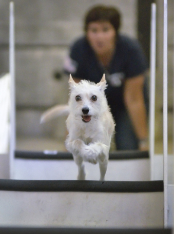 Cotton jumps over hurdles while being evaluated as a potential candidate for the Sincity Dogs Flyball Team, July 30. (Bill Hughes/View)