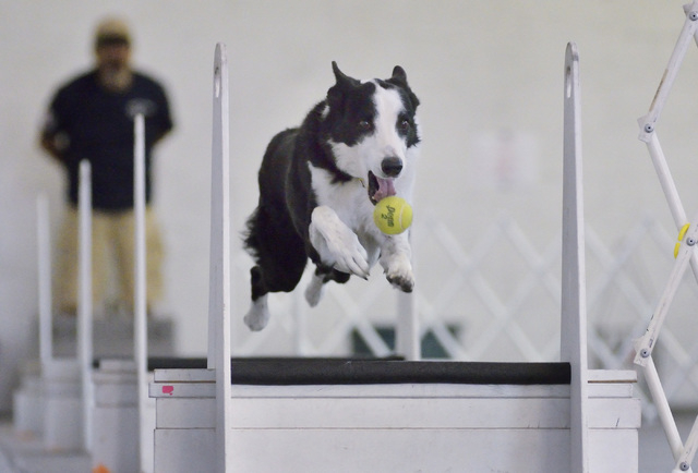 Justin momentarily loses his grip on a ball while jumping a hurdle during a training session for the Sincity Dogs Flyball Team, July 30. (Bill Hughes/View)