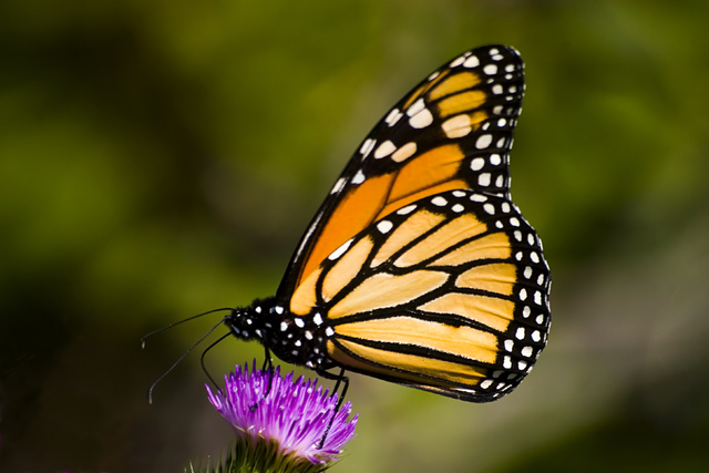 A Monarch butterfly on a Purple Thistle flower, one of the featured species at the Springs Preserve's new seasonal Butterfly Habitat, which opens Friday. (Courtesy)