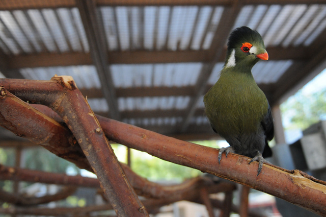 A white-cheeked turaco bird named Kiwi is seen inside an aviary at Gilcrease Nature Sanctuary, 8103 Racel St., in Las Vegas Thursday, June 2014. The Gilcrease Nature Sanctuary is open from 9 a.m.  ...