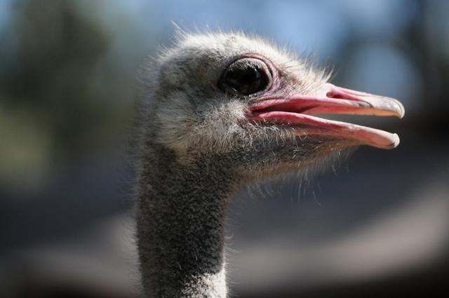 An ostrich is seen at Gilcrease Nature Sanctuary, 8103 Racel St., in Las Vegas during a tour Thursday, June 2014. The Gilcrease Nature Sanctuary is open from 9 a.m. to 5 p.m. Mondays through Satur ...