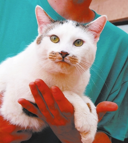 Armstrong, Nevada SPCA Let me be at your side and in your heart, peacefully and loyally for life. My name is Armstrong, and I am a young, handsome boy with a moustache, 1 year of age and neutered, ...