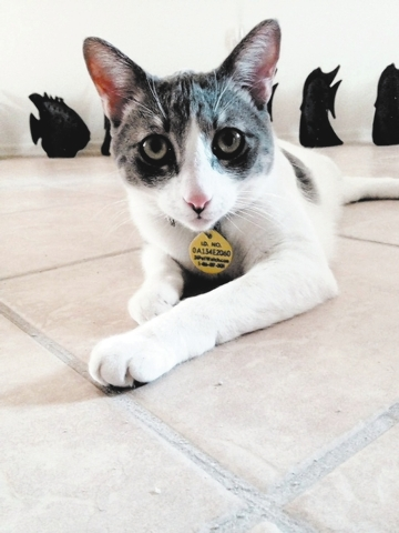 Hi, my name is Pip. I'm a 1½-year-old Oriental shorthair. I love to play fetch with my favorite toys, chase bubbles and watch the hummingbirds outside my patio window. I was born in Las Vegas   ...