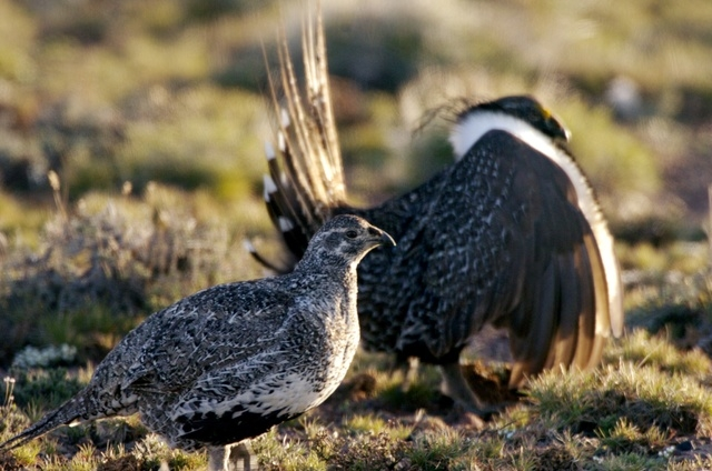 This April 2007 file  photo provided by the Nevada Department of Wildlife shows a male and female sage grouse in the mountains near Reno Nev. Conservationists say federal rules that allow livestoc ...