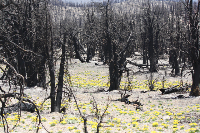 New growth blossoms amid burned trees along Mount Charleston's South Loop Trail, June 30, 2014. The trail remains closed as a result of last year's Carpenter 1 fire, and could stay that way for at ...