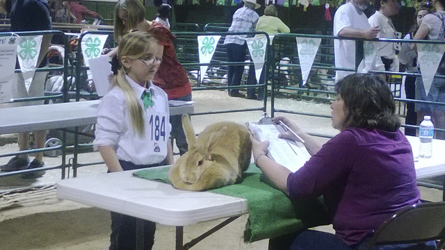 A 4-H club member shows a judge her rabbit for evaluation during the Clark County Fair in Logandale, Nev., April 2014. (Special to View)