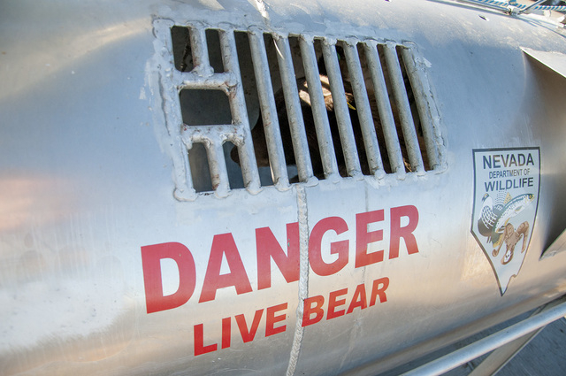 A black bear captured in Carson City earlier in the day sits in a trap outside the Nevada Department of Wildlife headquarters in Reno on Thursday, Oct. 2, 2014, awaiting its release back to the wi ...
